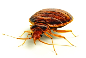 http://batzner.com/blog/wp-content/uploads/2011/11/bed-bug.jpg